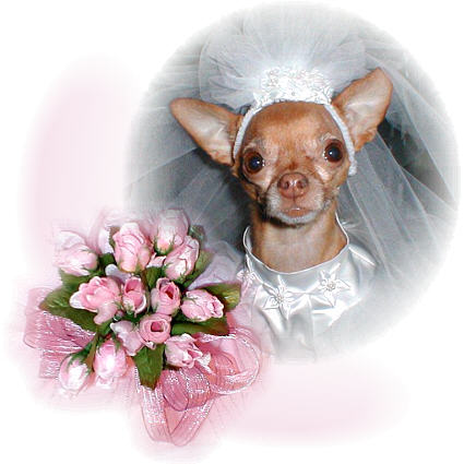 Chihuahua bride